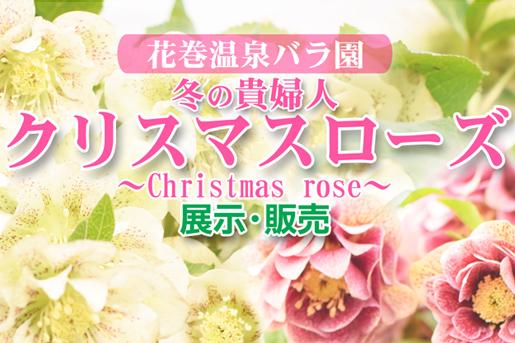 クリスマスローズ展示販売