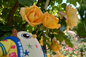 バラさんいっぱい咲いてるホー☆彡