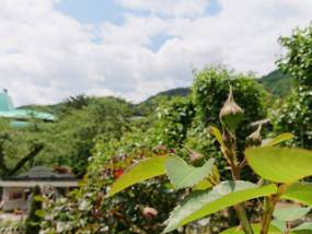花巻温泉バラ園 開花状況(2018/5/27)