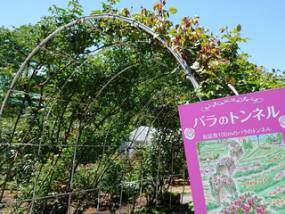 花巻温泉バラ園 開花状況(2018/5/20)