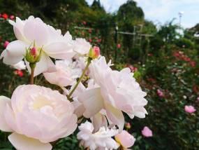 花巻温泉バラ園 開花状況(2018/10/5)