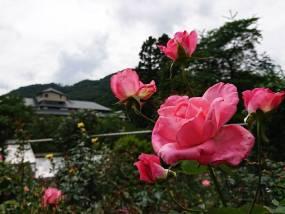 花巻温泉バラ園 開花状況(2018/7/10)