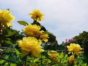 花巻温泉バラ園 開花状況(2018/7/3)