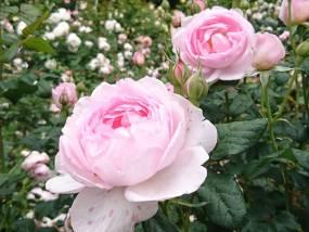 ピンク色でかわいらしい「セプタード・アイル」が きれいに咲いています♪