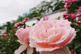 花巻温泉バラ園 開花状況(2019/6/28)