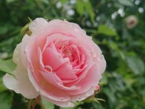 花巻温泉バラ園 開花状況(2019/6/29)