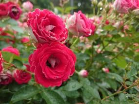 花巻温泉バラ園 開花状況(2020/7/4)