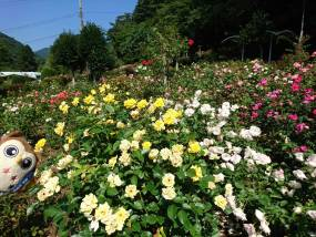 花巻温泉バラ園 開花状況(2020/8/19)