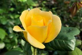 温室のバラが咲き始めました(^^)/