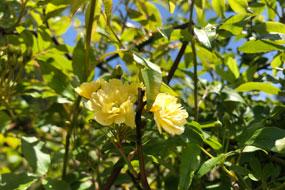 ◇モッコウバラ開花◇