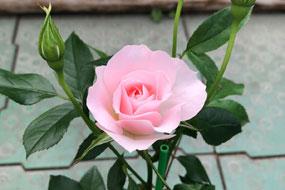 花巻温泉バラ園 開花状況(2021/5/22)