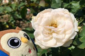花巻温泉バラ園 開花状況(2021/7/30)
