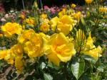 NHKの岩手県内ニュースで花巻温泉バラ園が紹介されました