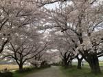 2018年 花巻温泉さくら便り(20180/4/22~号外~)