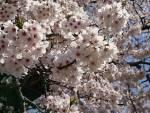 2018年 花巻温泉さくら便り(2018/4/19)~号外~