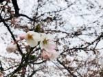 2018年 花巻温泉さくら便り(2018/4/18)~号外~