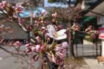 2019年 花巻温泉さくら便り(2019/4/18)