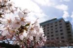 2019年 花巻温泉さくら便り(2019/4/21)
