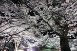 2019年 花巻温泉さくら便り(2019/4/21 ~号外 水沢公園~)