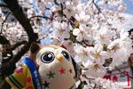 2019年 花巻温泉さくら便り(2019/4/22)