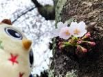 2019年 花巻温泉さくら便り(2019/4/30)