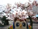2020年 花巻温泉さくら便り(2020/4/17)
