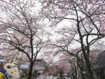 2020年 花巻温泉さくら便り(2020/4/21)