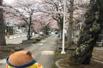 2021年 花巻温泉さくら便り(2021/4/14)