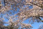 2021年 花巻温泉さくら便り(2021/4/23)