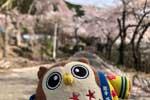 2021年 花巻温泉さくら便り(2021/4/24)