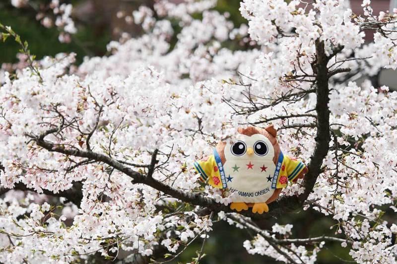 2019年 花巻温泉さくら便り(2019/4/16)