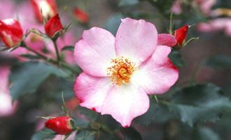 花巻温泉 バラ品種 ホット花巻